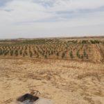 מטע זיתים במדבר